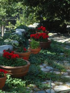 Pesto allPignoli - red flowers in ceramic planters along a walkway with trees & vines
