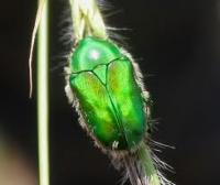 Emerald Green beetle (scarab)