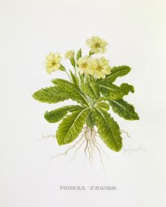 Mary Comber Miles botanical art