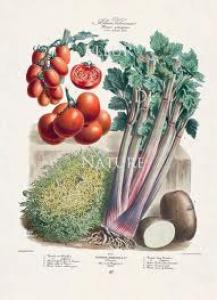 Pomodori Fritti - botanical art of tomatoes. celery & potatos