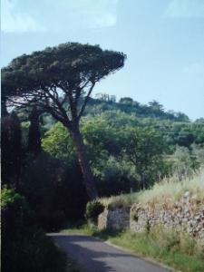 Pesto allPignoli - Pignoli Tree standing along the lane with blue sky in background